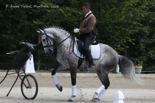 cheval arabe dressage